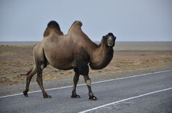 Love Wild camel. Wild camel on desert  road Stock Photo