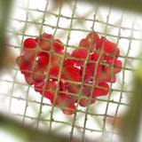 Love With Thorns Royalty Free Stock Photo