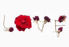 Love word by red roses. Love word written by red roses. One flower is fresh and other is faded at white background Royalty Free Stock Photos