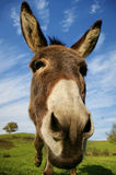 Loveable donkey Royalty Free Stock Photo