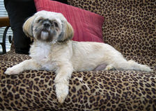 Loveable Shih Tzu  Royalty Free Stock Photo