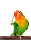 Lovebird που απομονώνεται στο άσπρο fischeri Agapornis Στοκ φωτογραφία με δικαίωμα ελεύθερης χρήσης