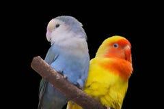Lovebird που απομονώνεται στο μαύρο υπόβαθρο στοκ φωτογραφία