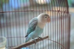 lovebird στο κλουβί στοκ εικόνες
