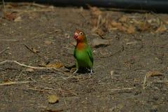 Lovebird της Lillian - Agapornis Lilianae στοκ εικόνα