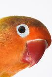 Lovebird Royalty Free Stock Photos
