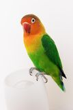 Lovebird. Little african parrot lovebird agapornis-fischeri Royalty Free Stock Photography