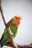 Lovebird Fotografia Stock Libera da Diritti