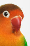 Lovebird. Close-up of little lovebird agapornis-fischeri Stock Image
