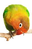 Lovebird. Agapornis-fischeri isolated on white Royalty Free Stock Photo