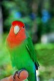 Lovebird Foto de archivo