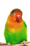 Lovebird. Colorful lovebird isolated on white Royalty Free Stock Images