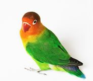 Lovebird. Colorful lovebird agapornis-fischeri isolated on white Stock Images
