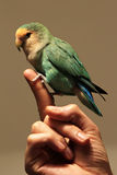 Lovebird fotografie stock