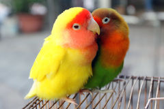 Lovebird. Standing on the cage Royalty Free Stock Photos