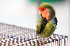 Lovebird. Standing on the cage Stock Photography