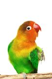 lovebird Arkivfoton