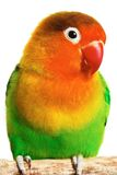 Lovebird royalty free stock photography