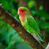 Lovebird Στοκ Εικόνες