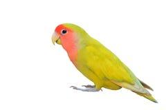 lovebird Стоковая Фотография