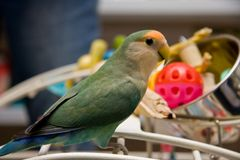 Lovebird. Sitting on a Playgym in the Pet Store Stock Images