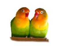 lovebird Obraz Stock
