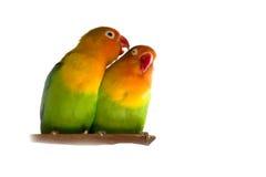 lovebird Zdjęcie Stock