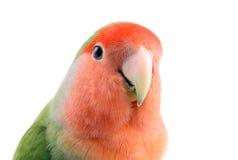 Lovebird stockfotos