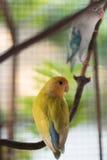 lovebird Royalty-vrije Stock Foto's
