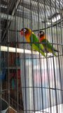 lovebird Fotos de Stock Royalty Free