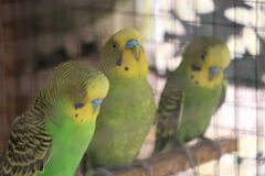 lovebird Royalty Free Stock Image