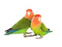 lovebird Stock Foto