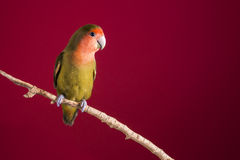 Lovebird agapornis on a branch over a red background. Portrait of a lovebird or agapornis roseicollis posing on a branch over a red color background. The bird is Royalty Free Stock Photo