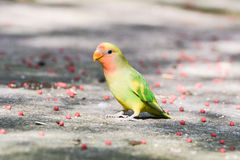 Lovebird (Agapornis). And lots of pelleted feeds on ground Stock Photos