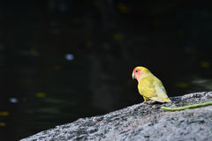 Lovebird (Agapornis) near pond Royalty Free Stock Photo