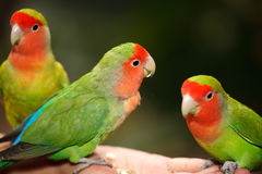 Lovebird Agapornis. A Lovebird is one of nine species of the genus Agapornis. They are a social and affectionate small parrot Stock Photography