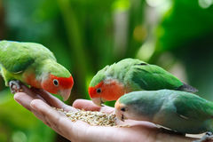 Lovebird Agapornis. A Lovebird is one of nine species of the genus Agapornis. They are a social and affectionate small parrot Royalty Free Stock Photography