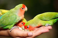 Lovebird Agapornis. A Lovebird is one of nine species of the genus Agapornis. They are a social and affectionate small parrot Royalty Free Stock Images