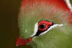 Lovebird Agapornis. A Lovebird is one of nine species of the genus Agapornis. They are a social and affectionate small parrot Royalty Free Stock Image