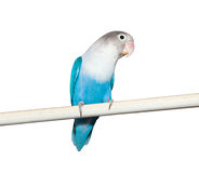 Lovebird (Agapornis roseicollis blue morph) Stock Photography