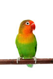 Lovebird aislado en el fischeri blanco del Agapornis Imagen de archivo