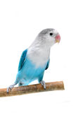 Lovebird aislado en el fischeri blanco del Agapornis Foto de archivo libre de regalías