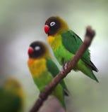 Lovebird Amarillo-agarrado Foto de archivo