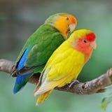 Lovebird. Beautiful bird, Lovebird, standing on a branch, back profile Stock Photos