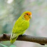 Lovebird. Beautiful bird, Lovebird, standing on the log, back profile Stock Photos