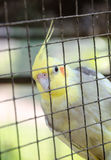 Lovebird in bird cage Stock Photos