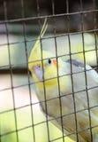 Lovebird in bird cage Stock Photos