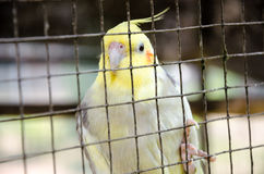 Lovebird in bird cage Stock Images