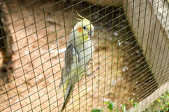 Lovebird in bird cage Stock Image