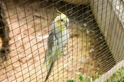 Lovebird in bird cage Stock Image
